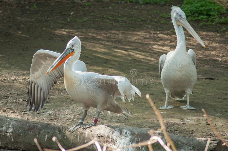 Pelikan på zoo royaltyfri bild