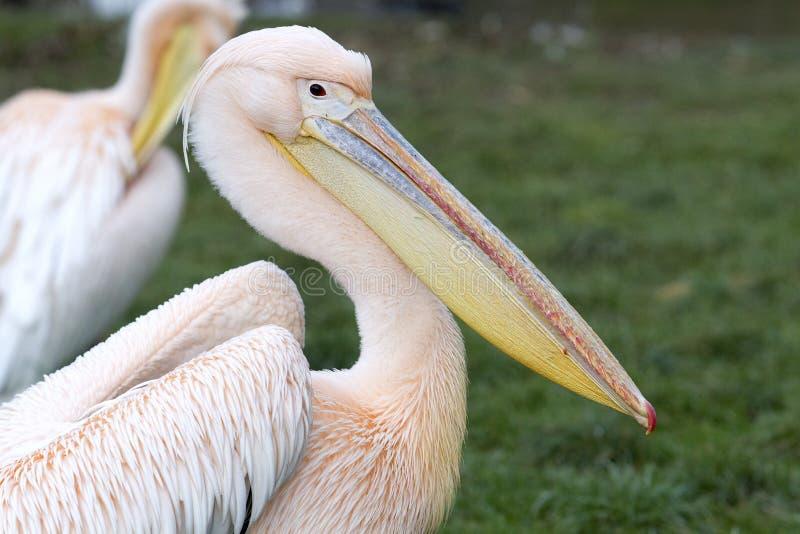Pelikan - Pelecanus arkivfoton