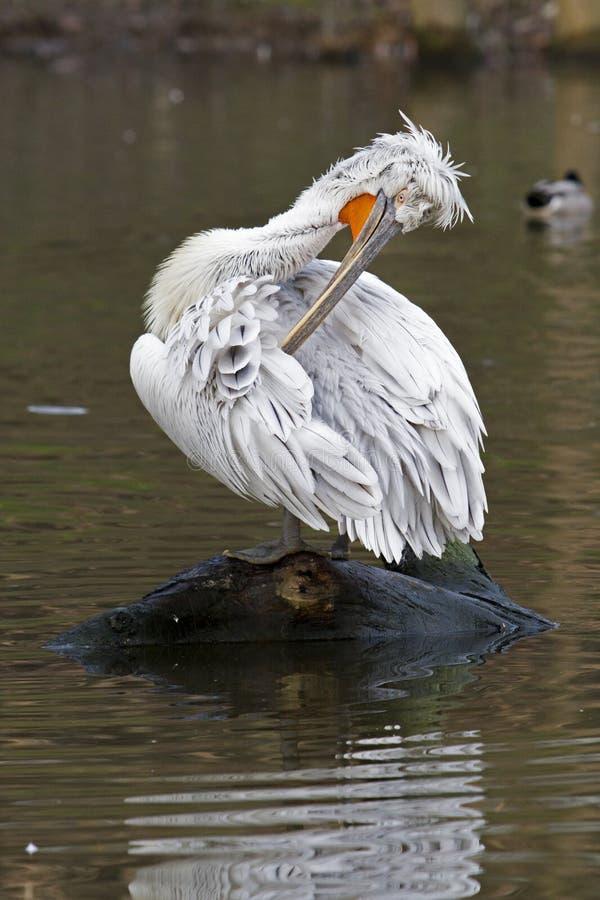 Pelikan - Pelecanus arkivbild