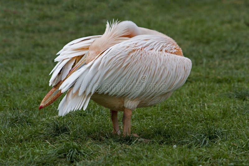 Pelikan - Pelecanus royaltyfri fotografi