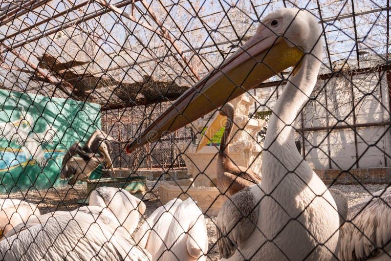 Pelikan lizenzfreies stockfoto