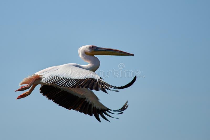 Pelikan Pelikane sind eine Klasse von großen Wasservögeln, die den Familie Pelecanidae bildet Sie werden durch einen langen Schna stockbild