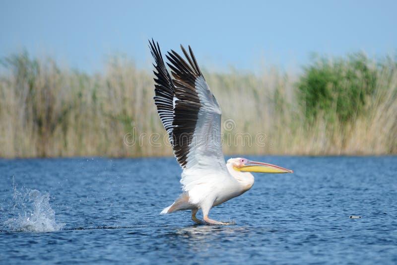 Pelikan Pelikane sind eine Klasse von großen Wasservögeln, die den Familie Pelecanidae bildet Sie werden durch einen langen Schna lizenzfreies stockfoto