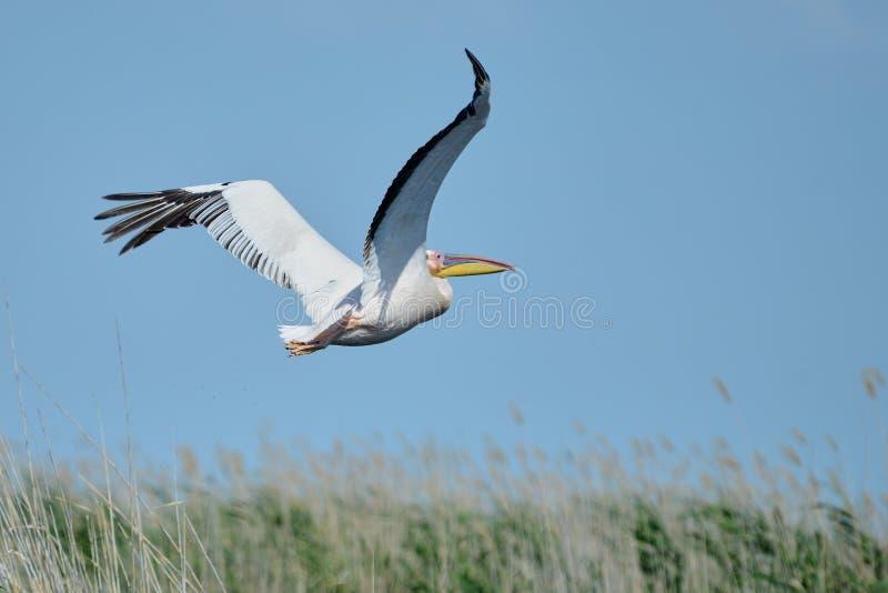 Pelikan Pelikane sind eine Klasse von großen Wasservögeln, die den Familie Pelecanidae bildet Sie werden durch einen langen Schna lizenzfreie stockfotos