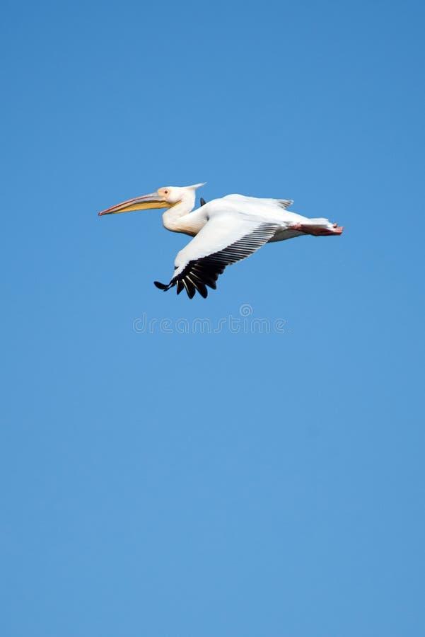 Pelikan Pelikane sind eine Klasse von großen Wasservögeln, die den Familie Pelecanidae bildet Sie werden durch einen langen Schna stockfotos
