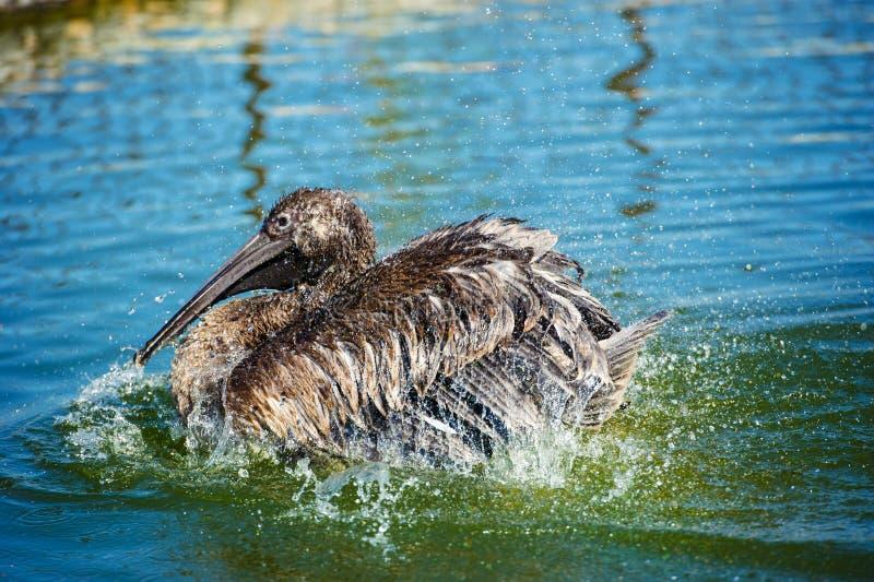 Pelikan plaskar vatten fotografering för bildbyråer