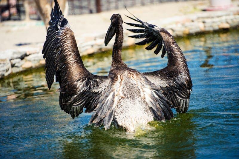 Pelikan plaskar vatten arkivbild
