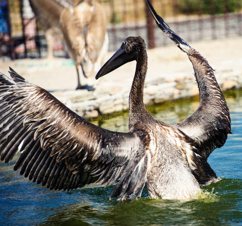 Pelikan plaskar vatten royaltyfri foto