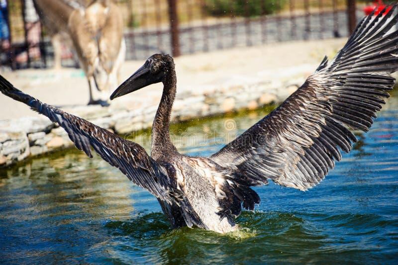 Pelikan plaskar vatten arkivfoton