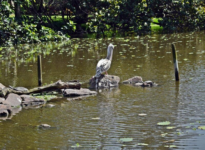 Pelikan poserar royaltyfria foton