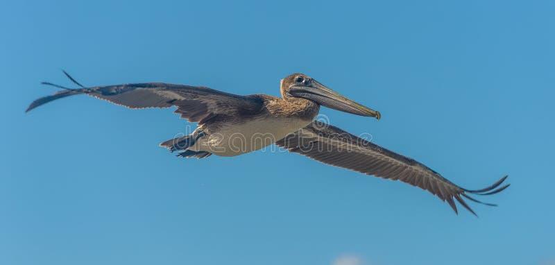 Pelikan przeciw niebieskiemu niebu obraz royalty free