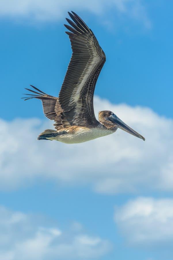 Pelikan przeciw niebieskiemu niebu zdjęcie stock