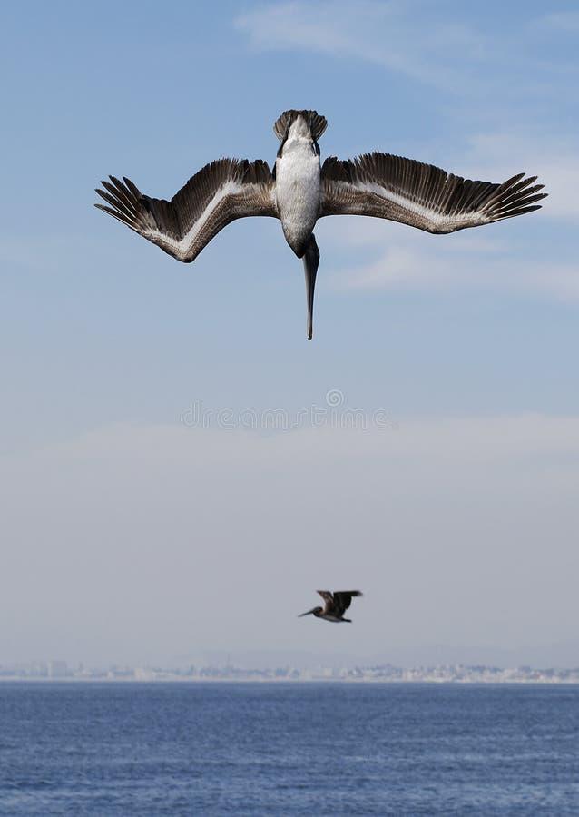 pelikan przepychacz fotografia royalty free