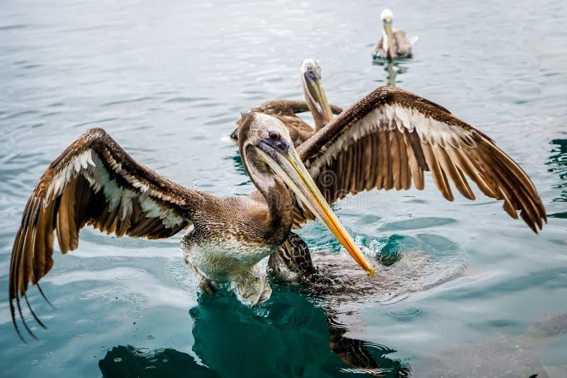 Pelikan przy Isla De Los angeles Plata, Ekwador zdjęcie stock