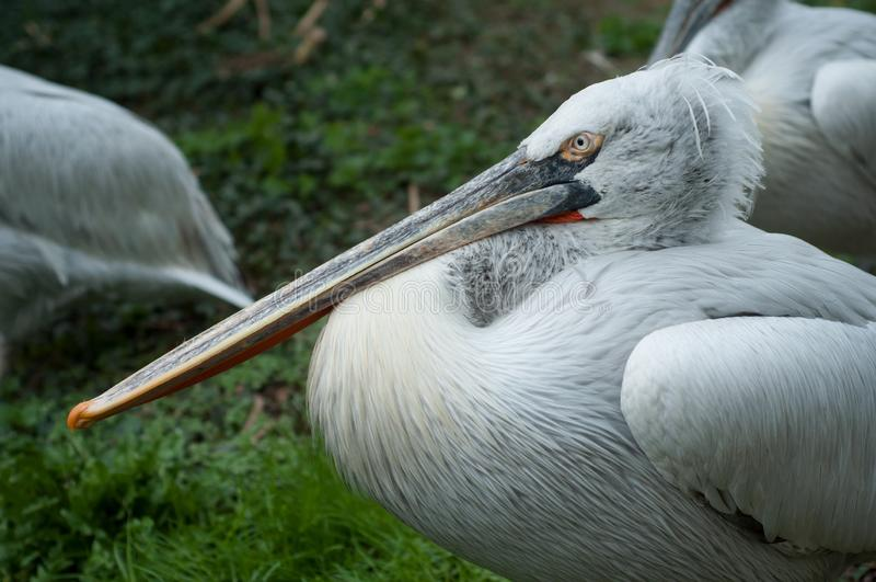 Pelikan przy zoo obrazy royalty free