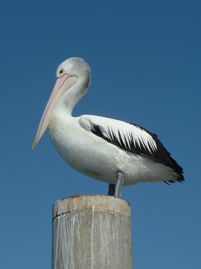 pelikan ptaka obrazy stock