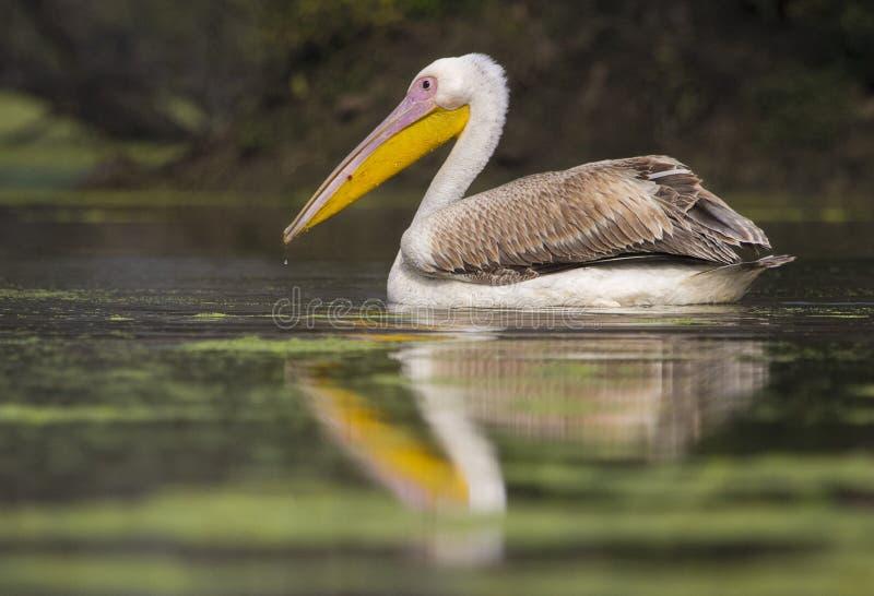 pelikan różowy zdjęcia stock