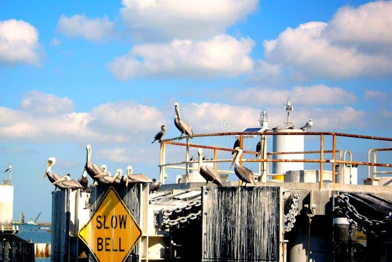 Pelikan Roost arkivbild
