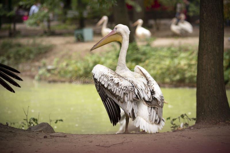 Pelikan am See stockfotos
