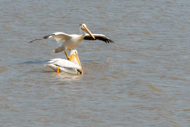 Pelikan sitter på vattnet royaltyfria foton