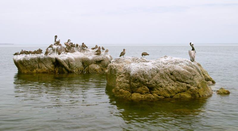 pelikan skał ptaki obrazy royalty free