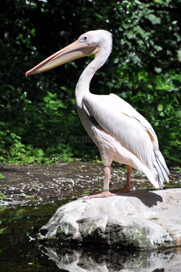 pelikan skała zdjęcie stock