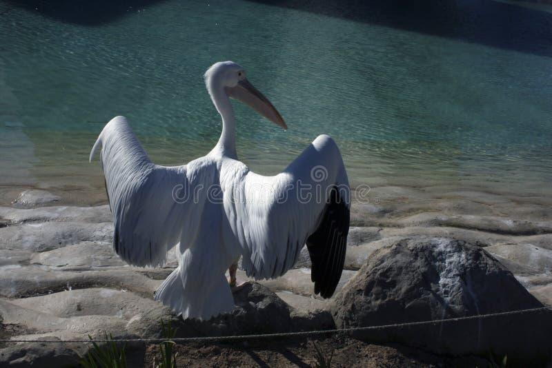 Pelikan som är klar att flyga fotografering för bildbyråer