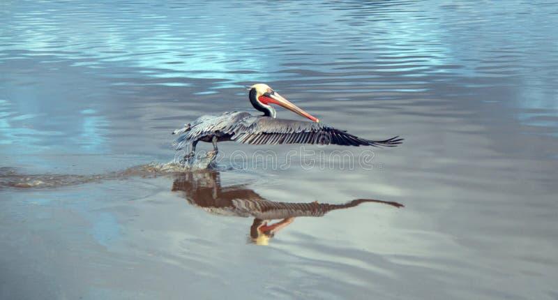 Pelikan som i flykten tar av på den Ventura stranden bredvid Santa Clara River våtmark på Kaliforniens Gold Coast i USA royaltyfri bild