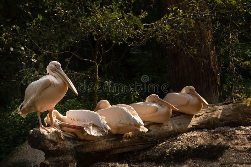 Pelikan som ligger och står på träjournaler arkivbild