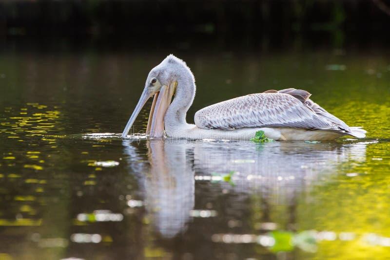 Pelikan som matar på vattenreflexionen Sydafrika royaltyfria bilder