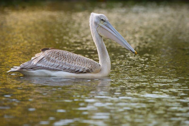 Pelikan som matar på vattenreflexionen Sydafrika royaltyfria foton