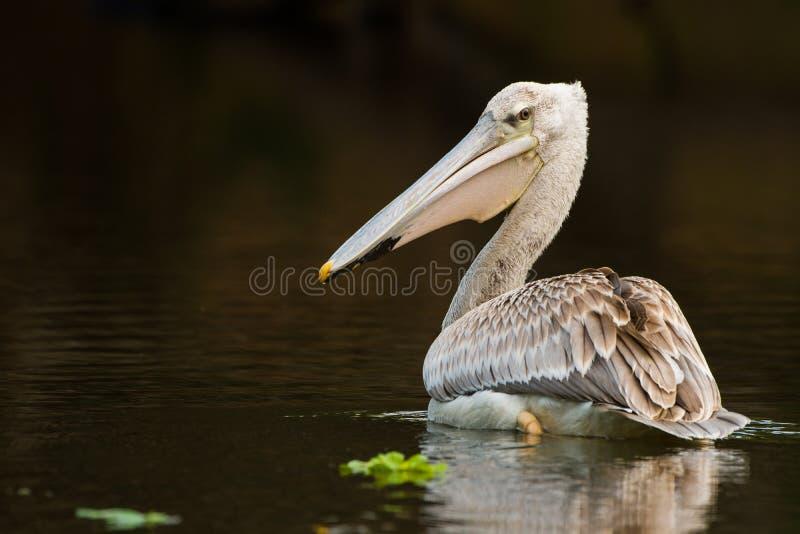 Pelikan som matar på vattenreflexionen Sydafrika arkivfoton