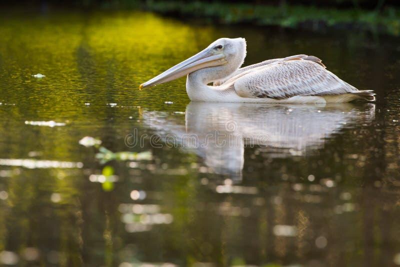 Pelikan som matar på vattenreflexionen Sydafrika royaltyfri foto
