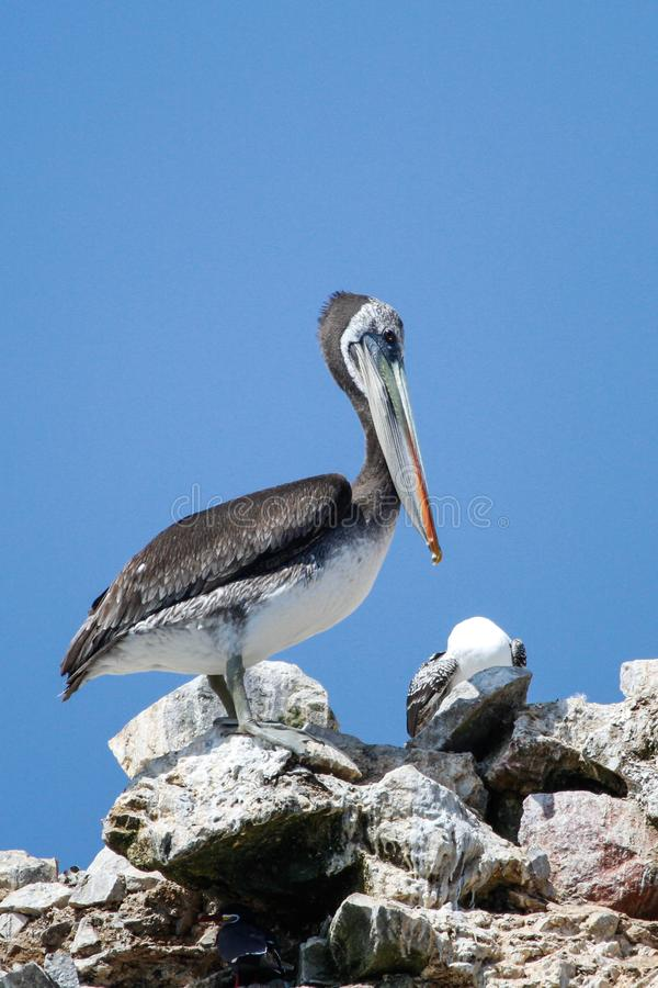 Pelikan som sätta sig på, vaggar royaltyfri fotografi