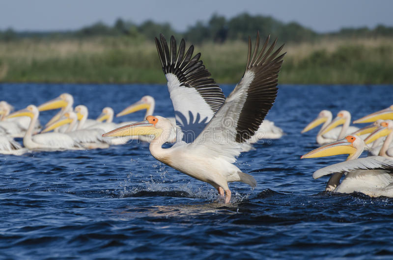 Pelikan som tar av arkivfoton