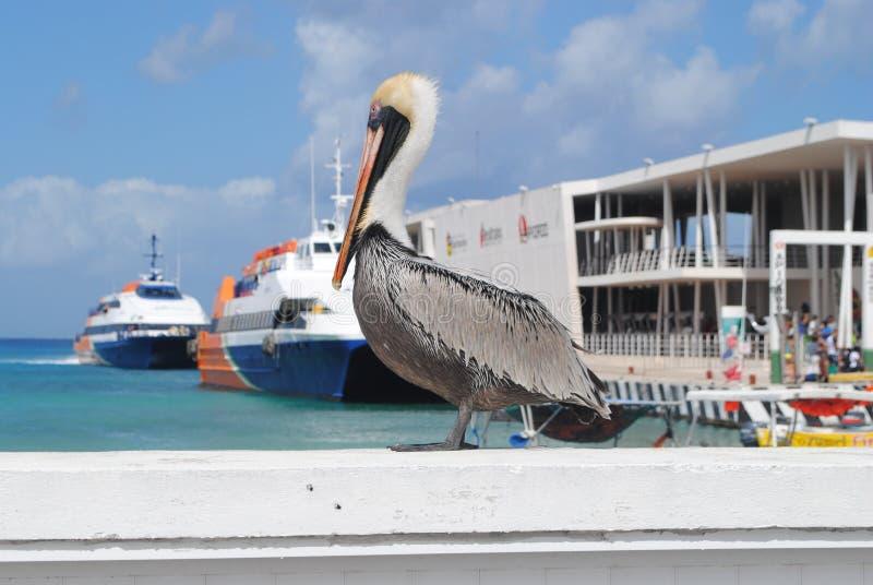 Pelikan som tycker om Sunen i Cozumel arkivbild