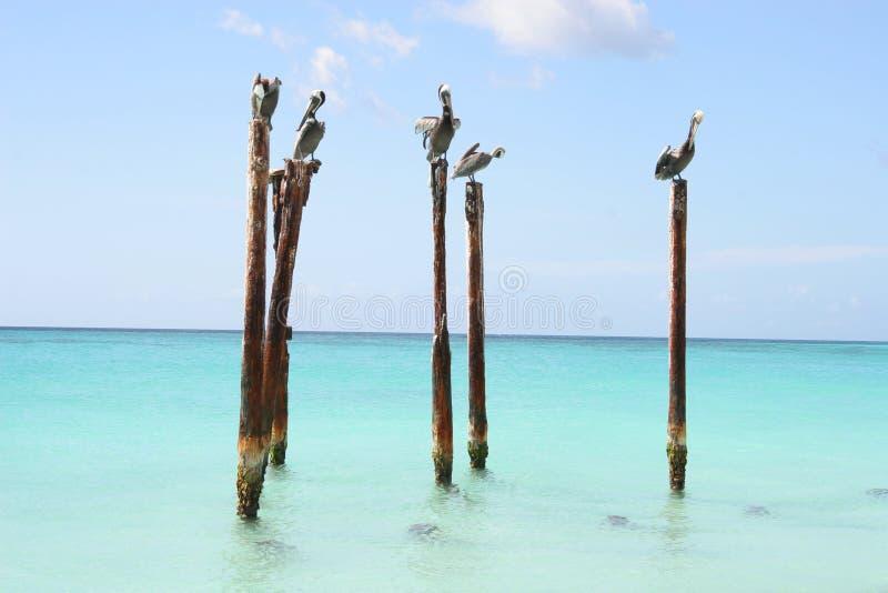 Pelikan Som Vilar På Träpoler, Aruba Som är Karibisk Arkivfoto