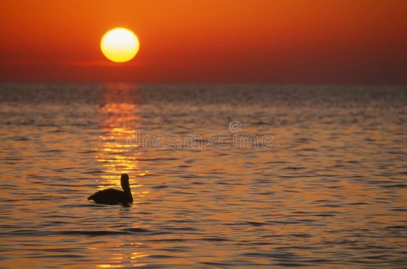 Pelikan am Sonnenaufgang, Florida-Tasten, horizontal lizenzfreie stockbilder