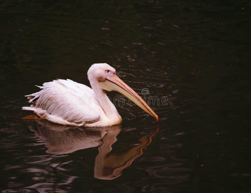 pelikan spławowa woda zdjęcia stock