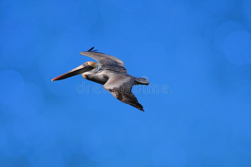 Pelikan steigt in einem buschigen Himmel über dem Ozean hoch lizenzfreies stockbild