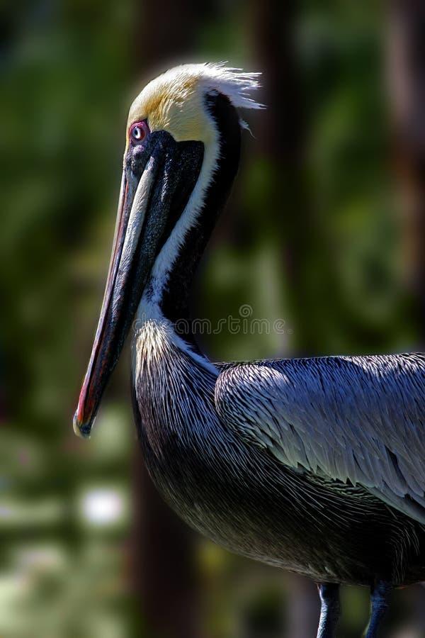 Pelikan-Stellung Stockfoto