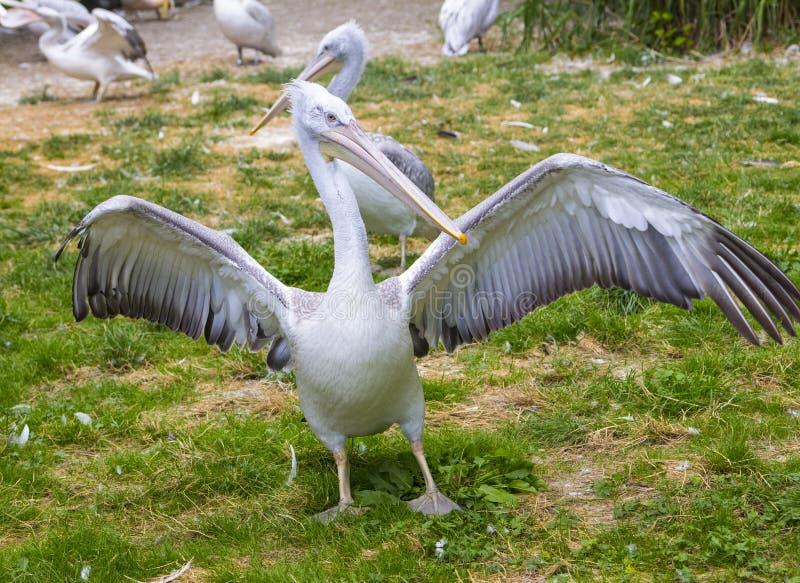Pelikan strosar bland andra pelikan och fördelar dess vingar royaltyfri bild