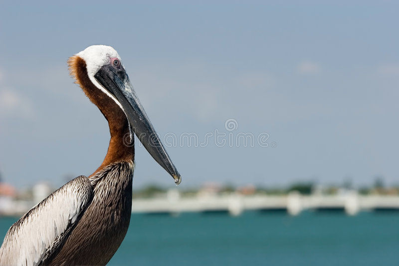 Pelikan und Brücke. lizenzfreies stockfoto