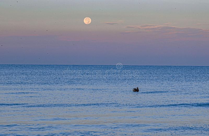 Pelikan und Vollmond an den indischen Felsen setzen, Florida auf den Strand lizenzfreies stockbild