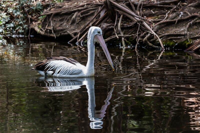 Pelikan unosi się wzdłuż rzeki fotografia stock
