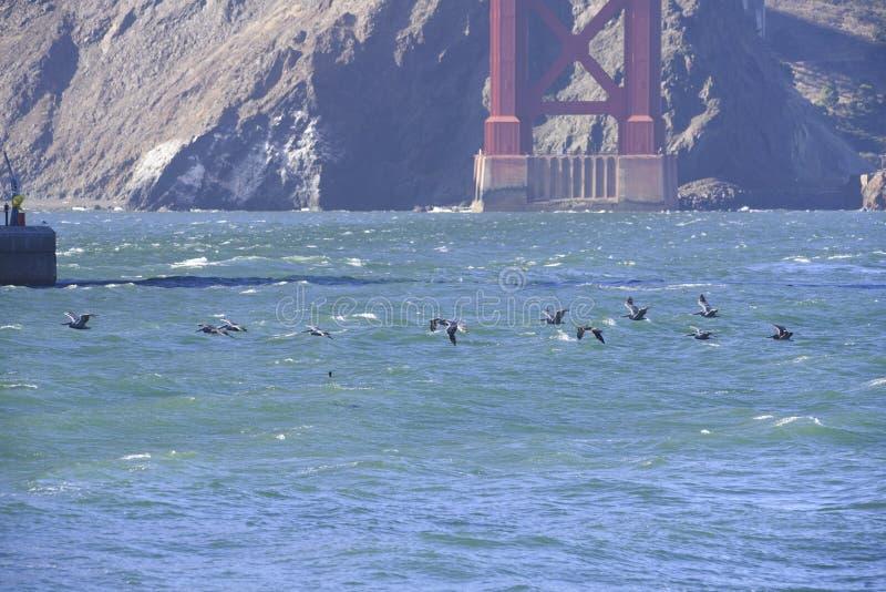 Pelikan unter golden gate bridge lizenzfreie stockfotos