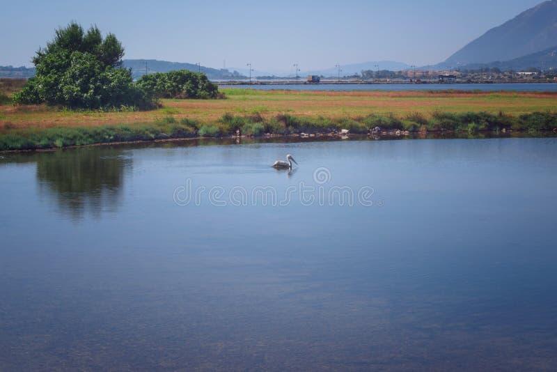 Pelikan w środowisku naturalnym obrazy stock