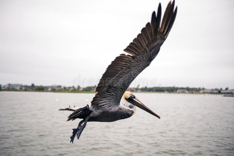 Pelikan w locie zdjęcia royalty free