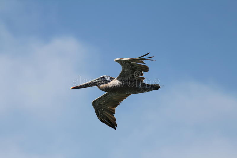 Pelikan w locie obraz royalty free