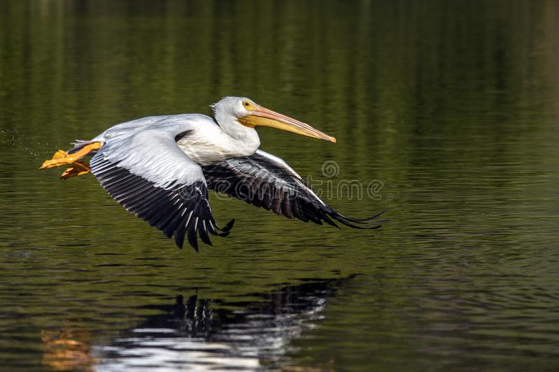 Pelikan w locie nad jeziorem La Pas fotografia stock
